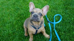 french-bulldog-4301672_1920
